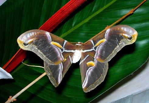 Butterfly, Bombyx, Nature