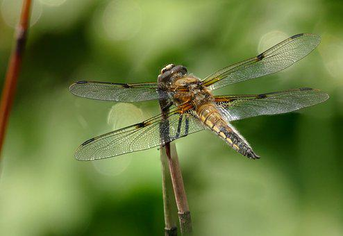 Insect, Dragonfly, Four Patch, Close Up