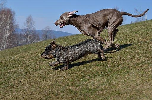 Dogs Running, Dachshund, Weimaraner
