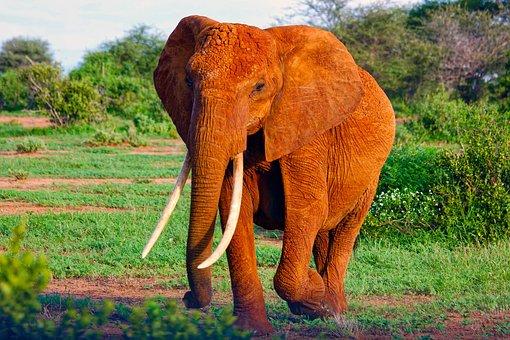 Elephant, Africa, Animal, Mammal, Wildlife, Safari
