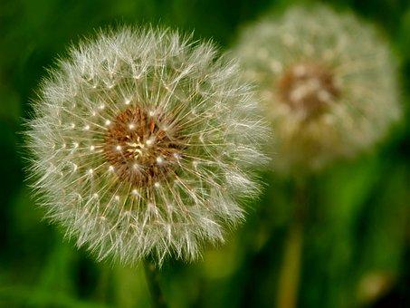 Dandelion, Beautiful, Spring, Nature, Flower, Plant