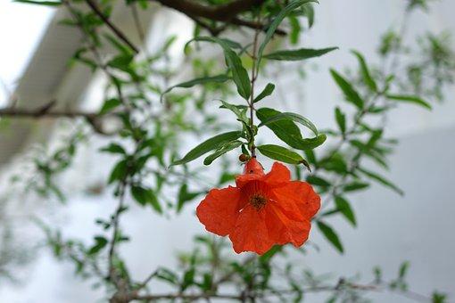 Flower, Pomegranate, Punica Granatum L, Flowering, Red