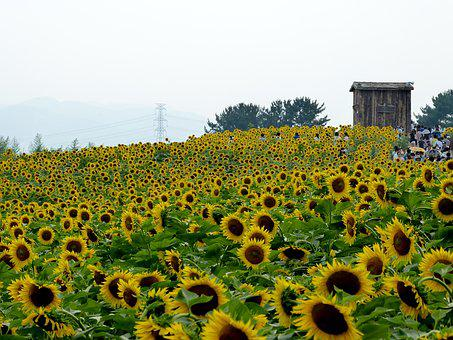 Sunflower, Flowers, Sunflower Festival, Nature