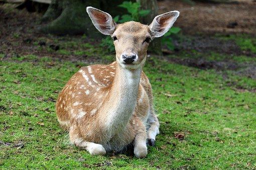 Zoo, Lüneburg Heath, Roe Deer, Animal, Forest