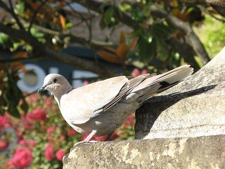 Wood Pigeon, Sarlat, France
