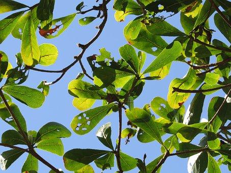 Lobular Terminalia, Branches, Green, Blue Day, Plant