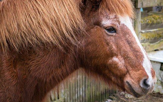 Horse, Pony, Head, Portrait, Horse Head, Mane, Nostrils