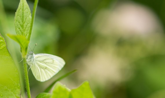 White, Butterfly, Macro, Insect, Nature, Garden