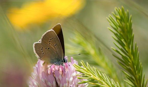 Butterfly, Kleiner, Alpine, Common Blue, Blossom, Bloom