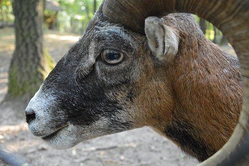 Mouflon, Horn, Wild, Mouflon Male, Portrait