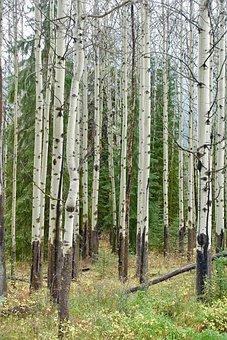 Birch Trees, Forest, Trunks, Pattern, Woods