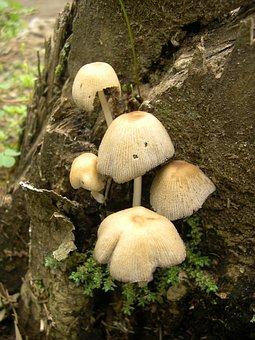 Mushrooms, Grebes, Poisonous Mushrooms, Summer