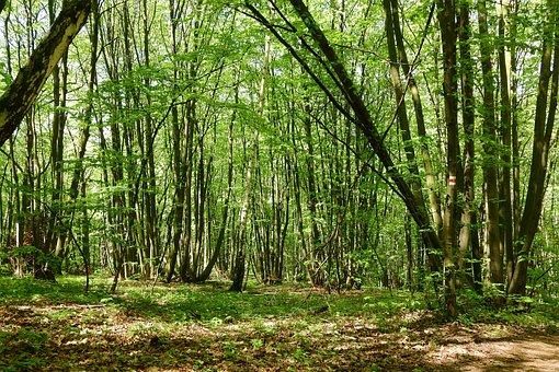 Coppice, Polykormon, Forest, Devin, Moravia