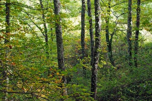 Forest, Park Pollino, Cerro, Quercus Cerris, Italy
