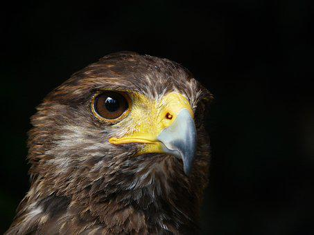 Royal Eagle, Bird, Raptor, Wild Animal
