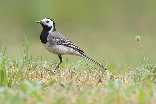White Wagtail, Bird, Nature, Animals, Songbird, Feather