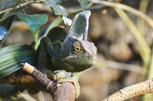 Yemen Chameleon, Reptile, Exotic, Creature, Animal