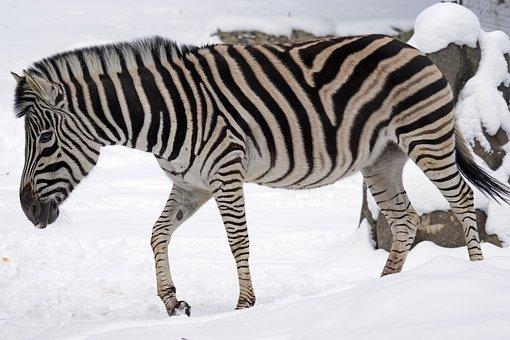 Zebra, Chapman Steppe Zebra, Perissodactyla