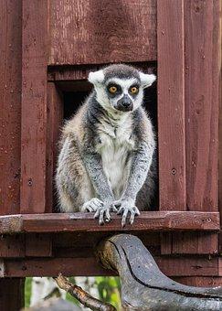 Lemur, Animal, Nature, Zoo, Madagascar, African