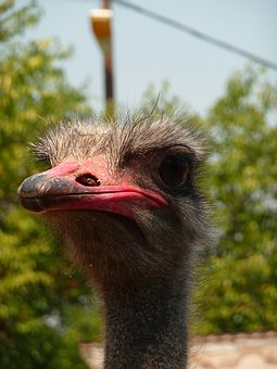 Ostrich, Animal, Zoo, Macedonia