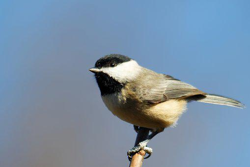 Chickadee, Bird, Birding, Black, White, Songbird, Small