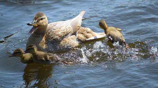 Duck, Mallard, Boy, Chicken, Duck Bird, Water Bird