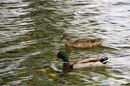 Ducks, Anatidi, Anas Platyrhynchos, Duck Male Rouen