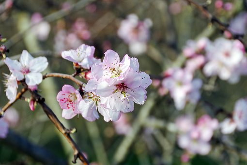 Pesco, Prunus Persica, Fiori Di Pesco, Flowers, Gems