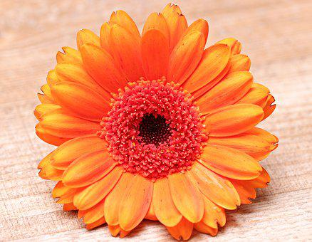 Gerbera, Flower, Blossom, Bloom, Colorful, Orange