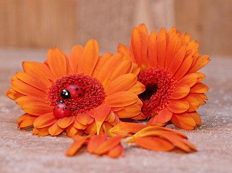 Gerberas, Ladybug, Lucky Ladybug, Flower, Flowers