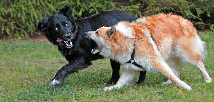 Dogs, Iceland Dog, Turbulent, Play, Pack, Pet Rudel