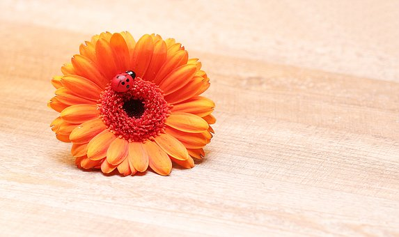 Gerbera, Ladybug, Lucky Ladybug, Flower, Blossom, Bloom