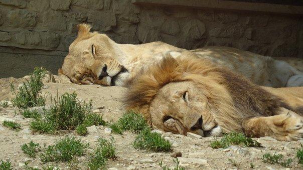 Lion, Pair, Zoo, Lioness, Partner, Mane, Lion Females