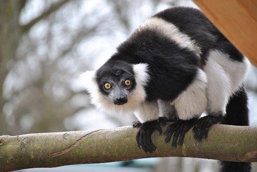 Marmosets, Callithrix Jacchus, Marmoset, Monkey, Mammal