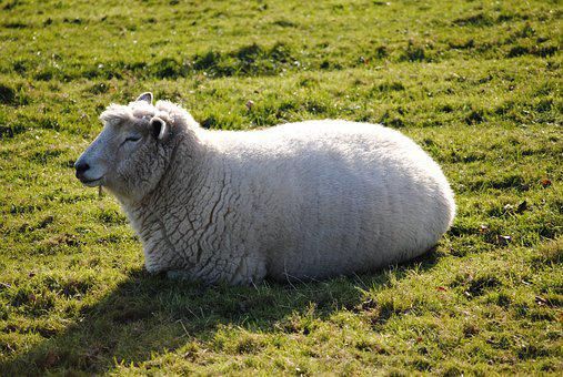 Sheep, Field, Farm, Nature, Animal, Grass, Wool