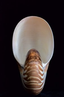 Shells, Sea Shell, Nautilus, Shell, Sea, Nature, Spiral