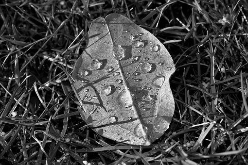 Leaf, Nature, Black And White, Plant, Of Course, Autumn