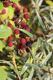 Bay, Fruit, Red, Foliage, Red Fruits, Plant, Nature