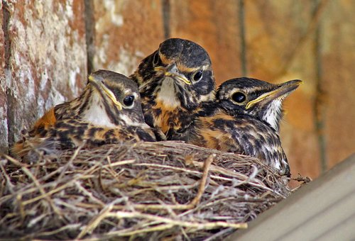 Baby Birds, Baby Robins, Robins, Babies In Nest