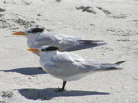 Florida, Royal Tern, Royal Terns, Beach