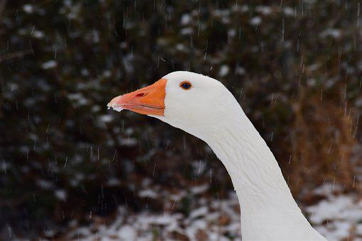 Goose, Snow, Winter, White, Animal, Fowl, Domestic