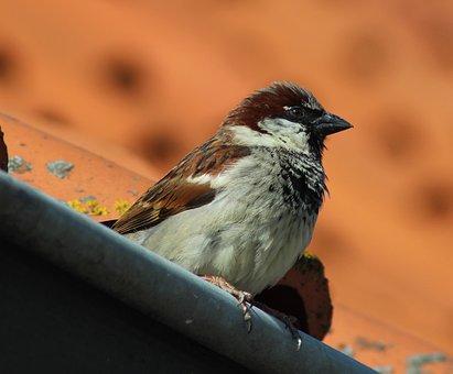 House Sparrow, Bird, Sparrow, Nature, Songbird, Animal
