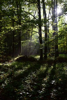 Forest, Shining Through, Trees, Nature, Mystery