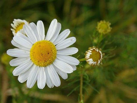 White, Flower, Blossom, Bloom, Pointed Flower, Bud