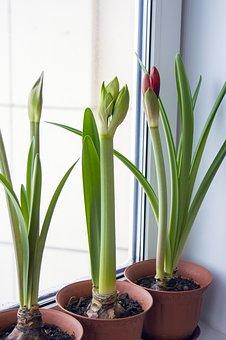 Amaryllis, Hippeastrum, Flowers On Window, Bulbous