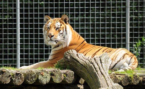 Zoo Cloppenburg Thüle, Tiger, Lying, Cat, Zoo, Big Cat