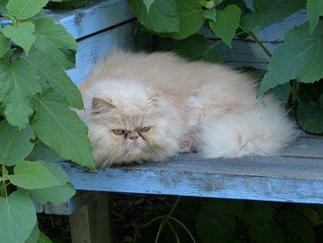 Persian Cat, Pet, Cat