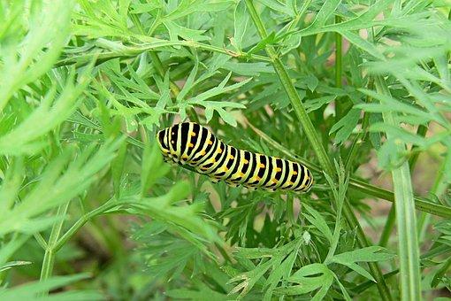 Dovetail, Nature, Caterpillar, Larva