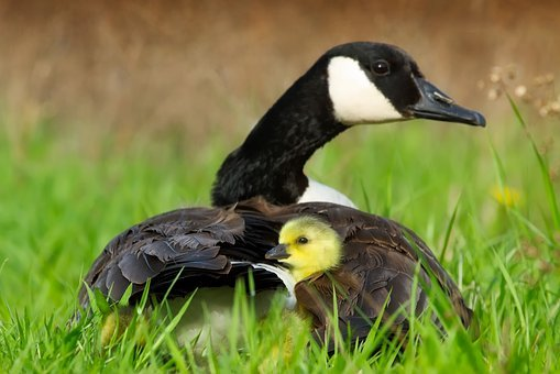 Goose, Geese, Ducks, Cute, Duckling, Mother, Chick
