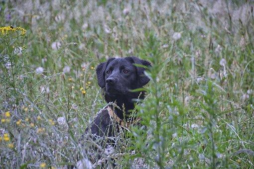Dog, Canine, Labrador, Animal, Animals, Companion